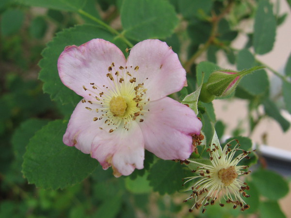 This beauty is a California Wild Rose, found beside the patio. You more often find them along streams.