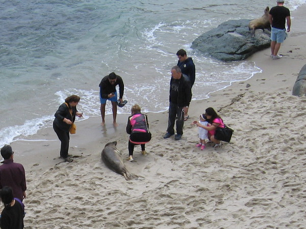 Several thoughtless, self-centered people almost stepped on a seal as they crowded in to get a photograph.
