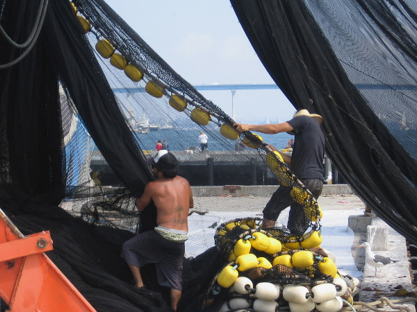 Wrestling with the huge live bait seine net, which is lined at the edges with yellow and white floats.