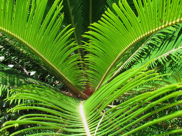 Bright green palm fronds produce instant human delight.