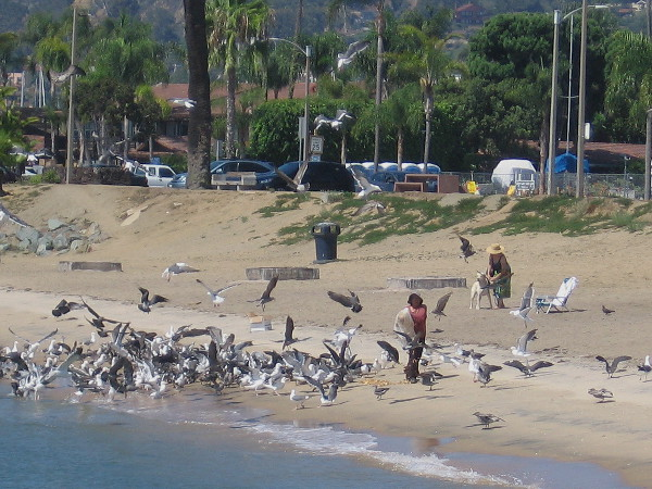Someone spreads a big bag of old bread along the small Shelter Island beach, sending the seagulls into a wild feeding frenzy!