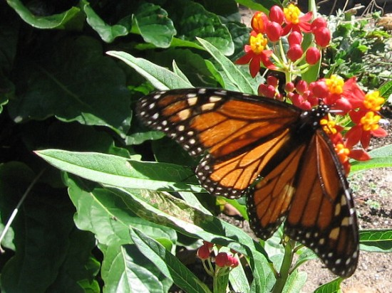 A monarch butterfly has found some milkweed. I snapped this photo just in time.