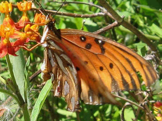 The underside of this Gulf fritillary almost looks like a torn, crumpled brown leaf.