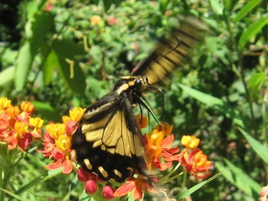 A swallowtail butterfly takes flight!