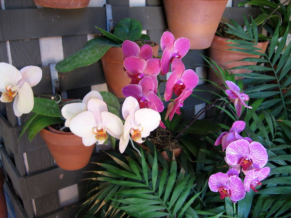 Many orchids in clay pots hanging from a wall trellis.