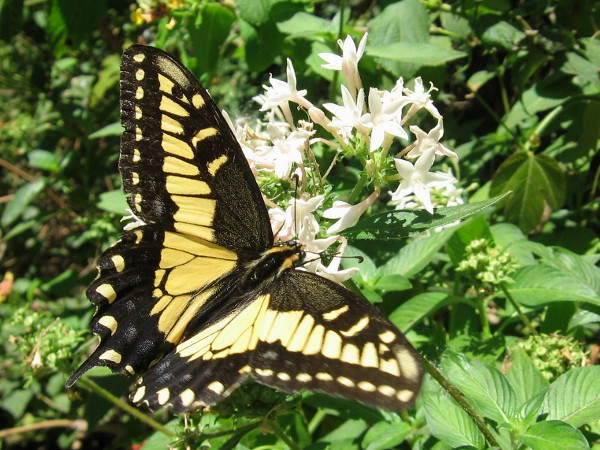 An Anise Swallowtail spreads its wings on a glorious day in San Diego's wonder-filled Balboa Park.