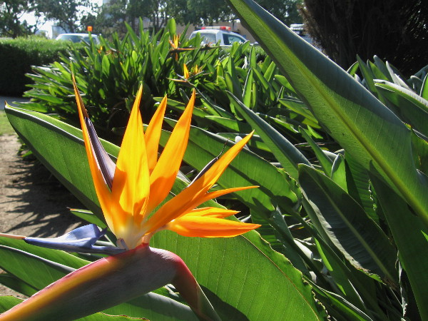 Beautiful Bird of Paradise in a section of Balboa Park where the public almost never goes.
