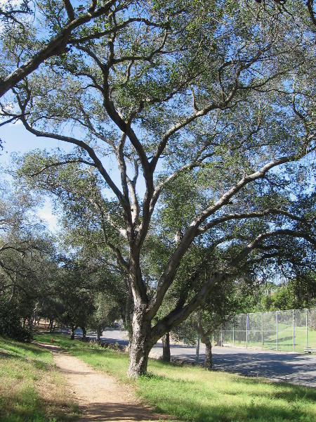 Sixty large old oak trees memorialize 60 sailers killed in 1905 when the USS Bennington's boiler exploded in San Diego's nearby harbor.