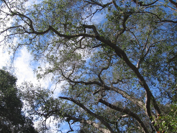 Looking up through the leaves of the live oak trees at blue sky and clouds.