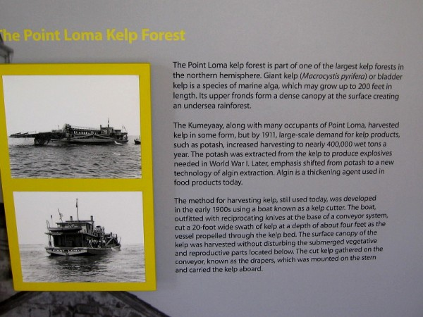The Point Loma kelp forest is part of one the largest kelp forests in the northern hemisphere. Giant kelp is a species of marine alga, which may grow up to 200 feet in length.