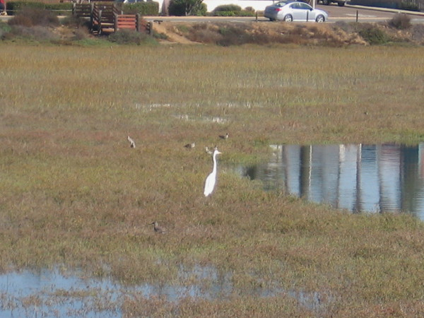 A white egret and other small birds enjoy the fertile, nutrient-rich environment created by this important coastal wetland.