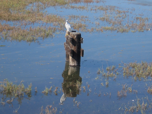 A Snowy Egret perches atop a post, perhaps watching the water for prey. Small fish, frogs, reptiles and insects are part of the food chain in a shallow river estuary.