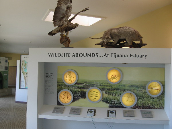 One of many educational exhibits within the cool Visitor Center. Wildlife abounds...at Tijuana Estuary!