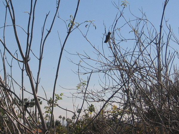 A tiny hummingbird is perched on the branch of a shrub.
