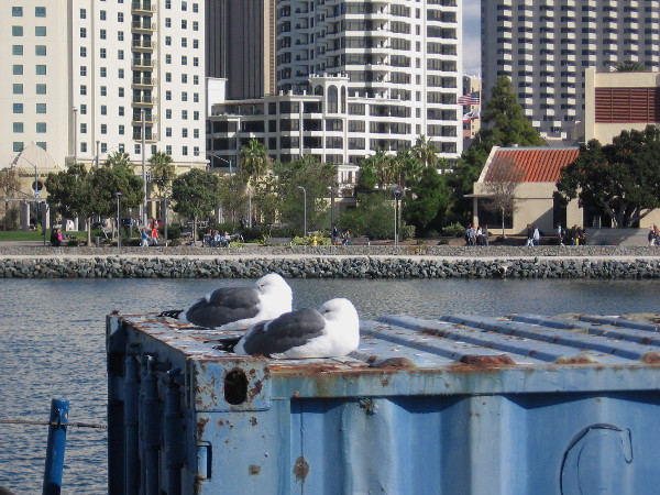 Two gulls take a nap in the San Diego sunshine the day after Thanksgiving. Many people were taking a pleasant, easy walk along the waterfront.