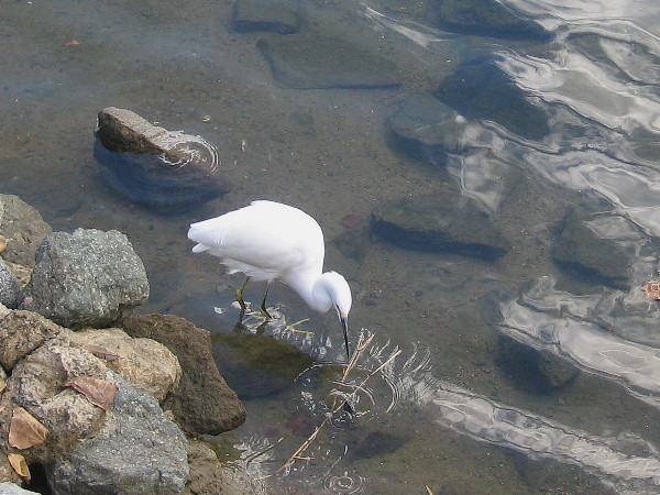 A snowy egret checks out a small stone in the Marriott Marina on San Diego's waterfront.