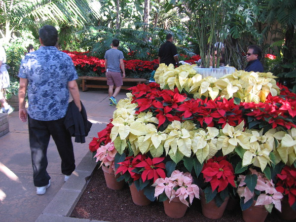 Poinsettias of many colors fill the amazing Botanical Building.