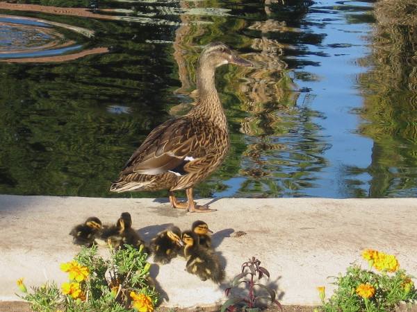 Mother duck and ducklings are a bit wary of all the excited humans crowding about the reflecting pool.