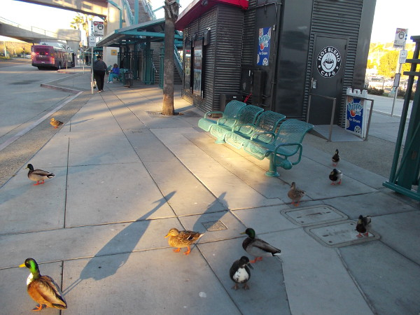 A flock of fearless San Diego River ducks. The curious birds seem to wait for a morning bus at the Fashion Valley Transit Center.