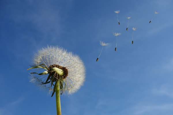 Dandelion fluff. Seeds take flight.