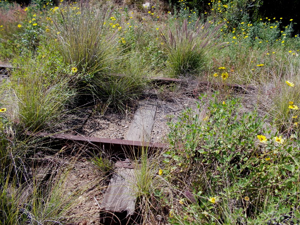 Rusty old train tracks are overgrown with wild vegetation, including many California sunflowers.