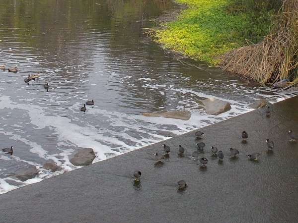 A gathering of American coots (or mud hens) where the San Diego River passes beneath Camino del Este.