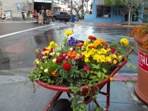 To see lots of bright flowers on San Diego's streets, perhaps swing by Little Italy during the spring!
