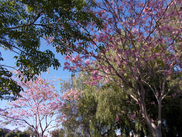 Those pink spring blooms, I believe, actually belong to Pink Trumpet Trees in Tweet Street Park, site of the upcoming Jacaranda Spring Thing!
