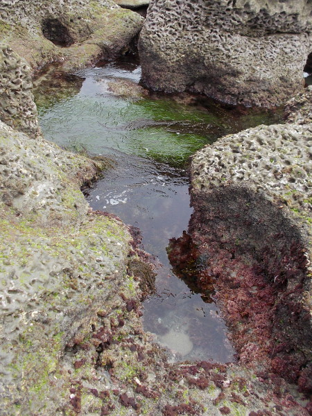 One can see pink encrusting coralline algae and surfgrass in this saltwater-filled channel.