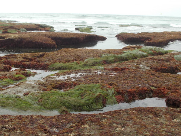 Bright green surfgrass, reddish algae and blue ripples of incoming ocean surf make a strangely beautiful photograph.