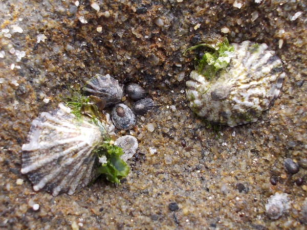 Limpets large and small on one rock form a beautiful pattern.