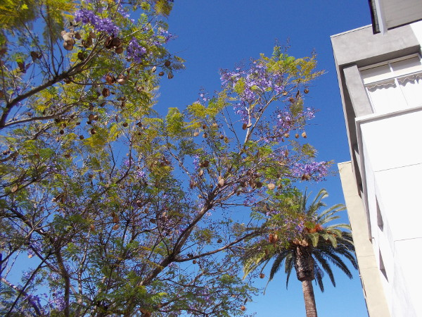 Purple blooms of jacaranda trees can be seen around downtown San Diego's Cortez Hill neighborhood.