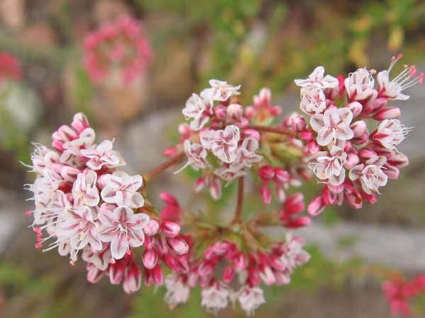 Flat-top buckwheat, or California buckwheat, flower clusters are opening in spring. These native plants grow profusely in arid San Diego.