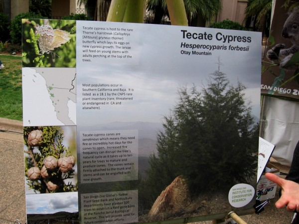 San Diego Zoo Global's Native Plant Seed Bank and horticulture departments have planted 500 Tecate Cypress trees to establish a field gene bank.