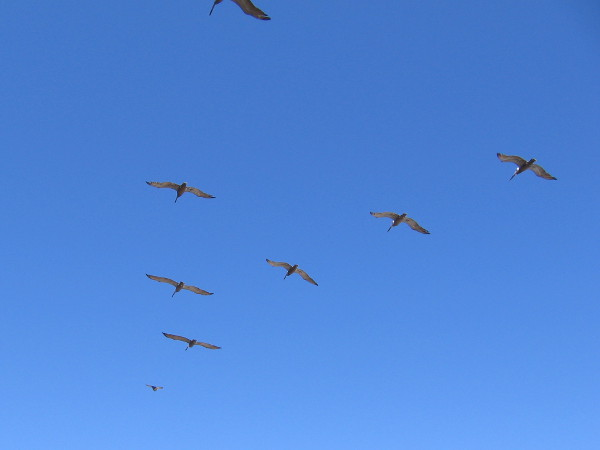Pelicans fly in formation to ease their path through the air.