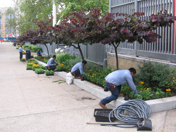 Workers plants fresh new flowers around Petco Park in preparation for the fast approaching 2016 Major League Baseball All-Star Game.