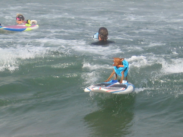 Tiny dogs surf mighty waves in Imperial Beach during the 11th Annual Unleashed by Petco Surf Dog Competition!