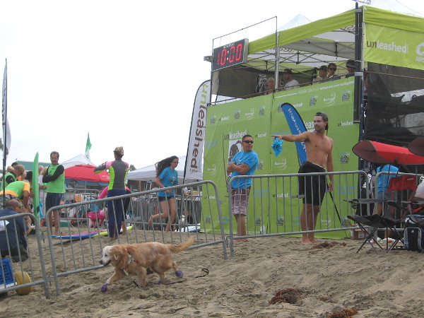 This thoughtful dog is checking out the perimeter of the surf competition starting area, which is fenced off from interfering human types.