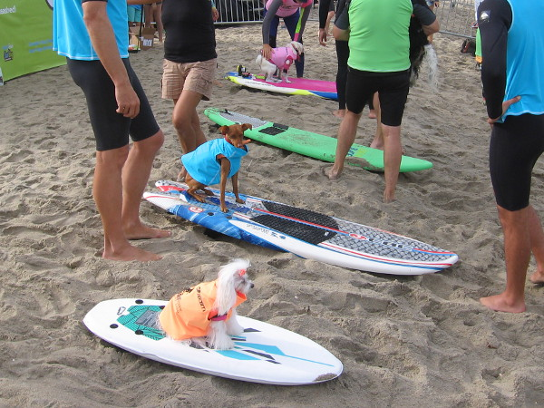 We're almost ready for the first heat! These small dogs pose atop their surfboards for photos and make the most of their superstar status.