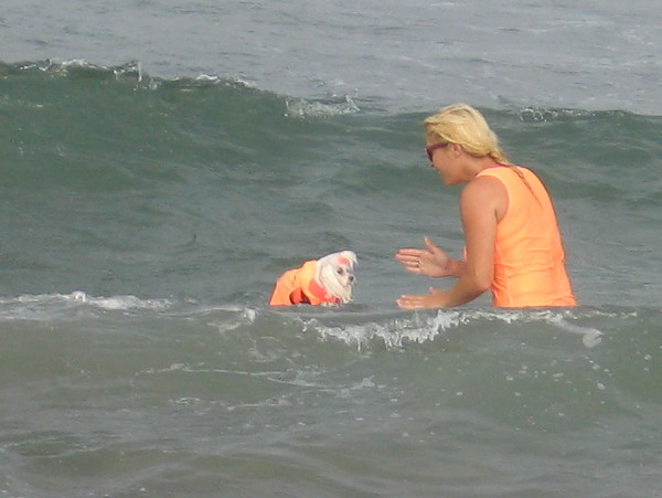 A tiny canine contestant receives encouragement as the annual surf dog competition gets underway.