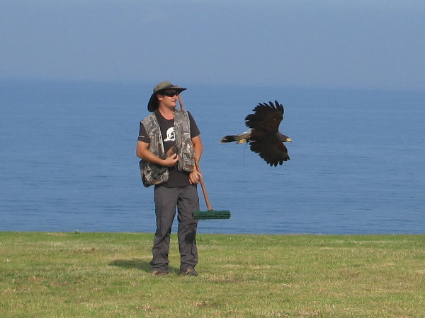 Taking flight indeed! A beautiful raptor flies past its handler. Beyond, the blue Pacific Ocean stretches to the horizon.