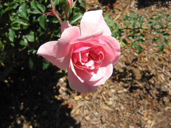 While I stood waiting outside the House of England among Balboa Park's International Cottages, I snapped this photo of a beautiful rose.