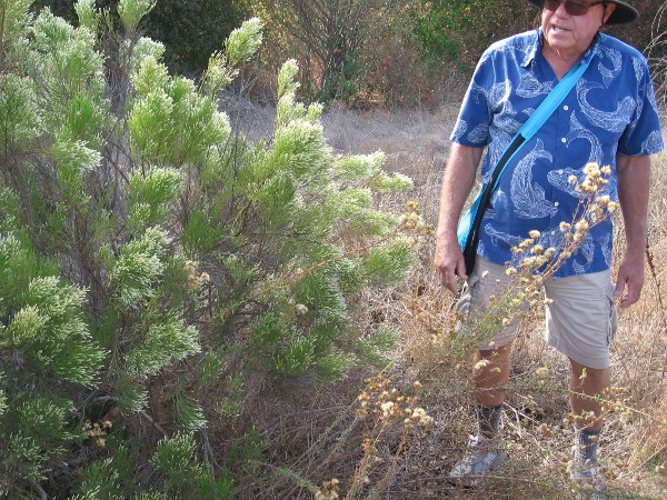 Mike Kelly shows us some California broom. Native American Kumeyaay and pioneers used the plant like a broom for sweeping.