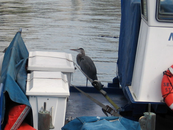 A heron has taken sole possession of this boat in Tuna Harbor.