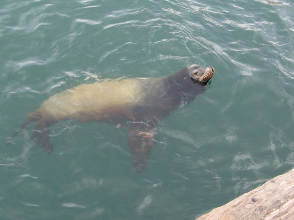 It's a sea lion just hanging out, probably hoping for a handout!