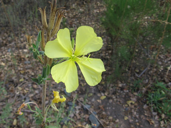 An Autumn wildflower at Mission Trails Regional Park.
