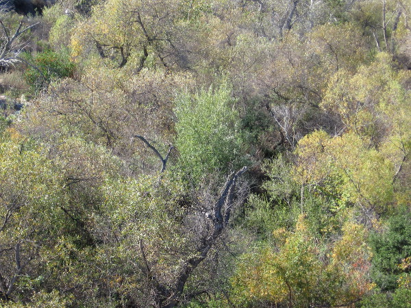 Lush trees along the San Diego River. Autumn leaves have yellowed a bit.