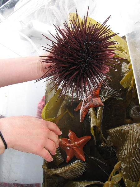 I and some other folks are shown a sea urchin. The kelp and starfish are just for show--they aren't normally eaten!