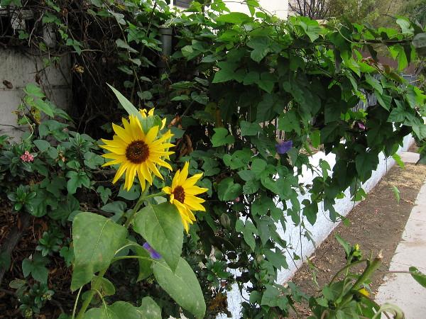 Sunflowers appear next to a Barrio Logan sidewalk.