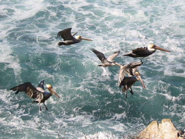 Brown pelicans come in for a landing on a cliffside near La Jolla Cove.